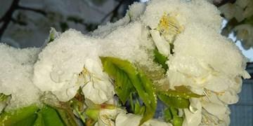 خلخال در بهار سفیدپوش شد/شکوفههای گیلاس همآغوش برف