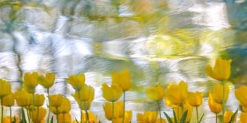 لالههای باغ گلستان