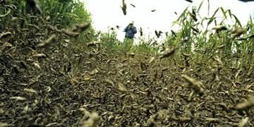 حمله ملخ ها به مزارع شهرستان هوراند