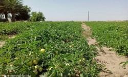 عرضه 10  هزارتن محصول تولیدی کشاورزان بمپوری به بازار