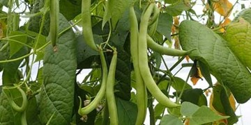 پیشبینی برداشت ۳۷۰ تن محصول لوبیا در میامی