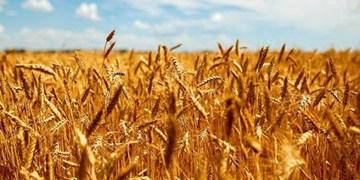 پیشبینی تولید 150 هزار تن محصولات کشاورزی در گرگان/ 12 مرکز خرید فعال میشود