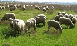 وجود بیش از 7 میلیون راس دام مازاد بر ظرفیت مراتع در آذربایجانغربی