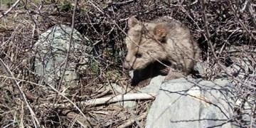 فیلم|دفاع از قلمرو در خرسهای قهوهای