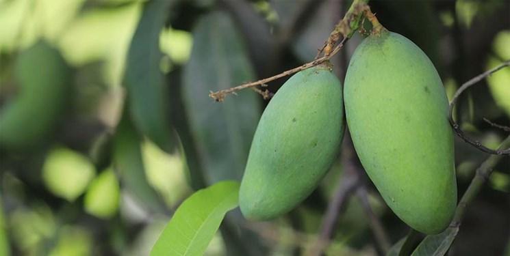 آغاز برداشت «انبه» در میناب/ پیشبینی تولید 17 هزار تن انبه در «میناب»