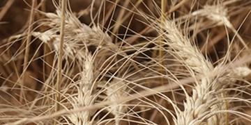 بیش از ۷۴ هزار تن گندم در استان سمنان ذخیره شد