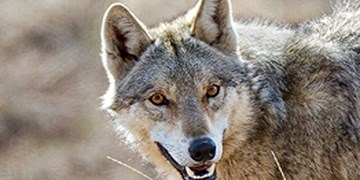 نجات مرد روستایی از محاصره گرگها/گاوِچَموش،جان صاحبش را به خطر انداخت!