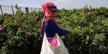 برداشت گل محمدی از مزارع نوین اسفراین آغاز شد