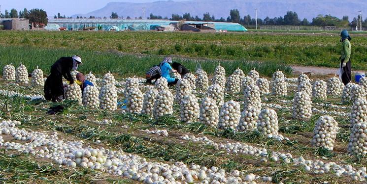 پیاز و گوجه روی دست کشاورزان ماند/ وزارت جهاد کشاورزی توپ را به زمین تولید کنندگان انداخت