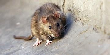 جمعیت موش ها، تهدیدی علیه انسان ها