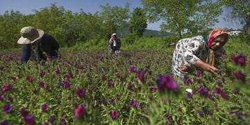 برداشت محصول گل گاوزبان در شهرستان زرند