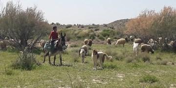 چوپان 7 سالهای که اعتماد روستاییان را جلب کرد/امیرعباس در فصل تعطیلی مدارس به صحرا میرود