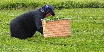 قیمت تضمینی خرید برگ سبز چای در سال ۱۴۰۰ اعلام شد
