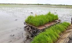 صدور مجوز کاشت برنج در استان خوزستان با لحاظ شرایط