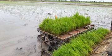 فیلم| شمالیها قادر به خودکفایی در تولید برنج هستند