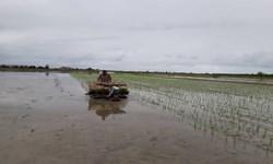 رشد ۱۰۰ درصدی عملیات مکانیزه کشت برنج در شالیزارهای مازندران