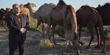 پوشش گیاهی حوضه دریاچه ارومیه مناسب پرورش شتر است/ پرورش ۱۷۰۰ شتر دوکوهانه