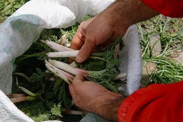جمعآوری گیاهان خوراکی از مراتع