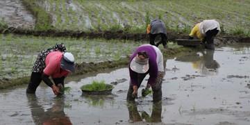 تب شالیزار در کمین شالیکاران شمالی/ سالانه حداقل ۳۰۰ گیلانی به تب شالیزار مبتلا میشوند