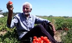 جهادیها به میدان آمدند؛ گوجه ارزان شد، کشاورز راضی