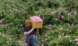 پیشبینی برداشت17 تن گل محمدی از گلستانهای میاندوآب