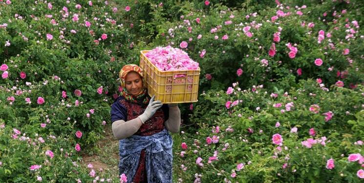 برداشت گل محمدی از ۲۰ هکتار مزارع جاجرم