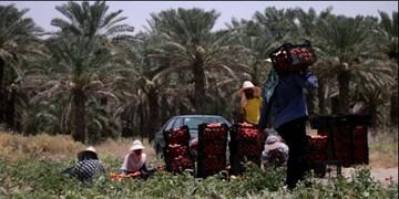 روایت بانوی جهادگر از حکایت یک تیر و چند نشان در نجات محصول گوجه کشاورزان کرمانی