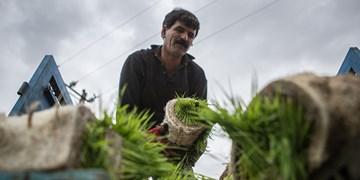 عکس  نشای برنج در شالیزارهای گیلان