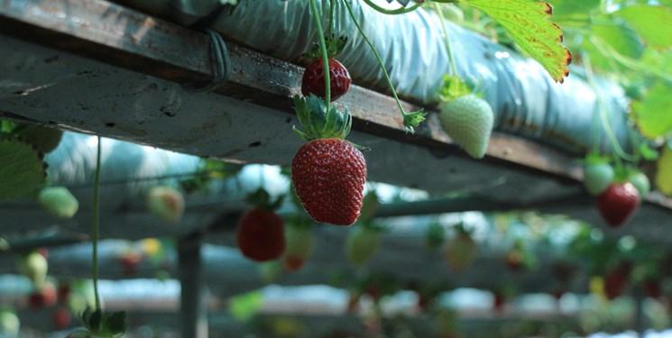 آغاز برداشت توتفرنگی در گیلان/تولید بیش از ۵ هزار تن توتفرنگی