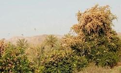 پاکسازی ۱۲۰ هکتار از مزارع آلوده به ملخ صحرایی در ریگان