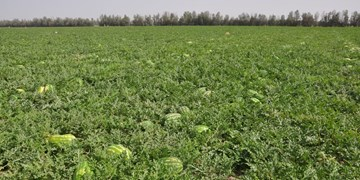 آغاز برداشت محصولات جالیزی در منطقه سیستان