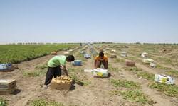۴هزار و۸۰۰ تن سیب زمینی از مزارع ایرانشهر به بازار عرضه شد