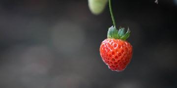 عکس | البرز قطب اول تولید توت فرنگی گلخانهای کشور