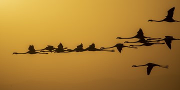 فرود 20 هزار فلامینگو در سواحل  دریاچه ارومیه+تصاویر