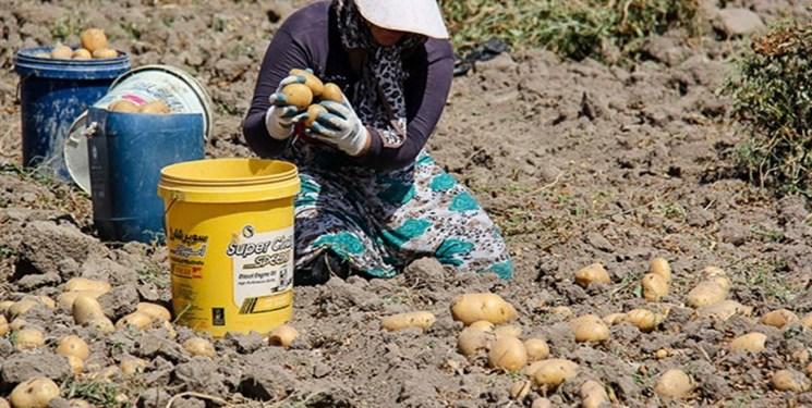 آشفته بازار سیبزمینی برای کشاورزان گلستانی/ بی تدبیری سیب زمینیکاران گلستان را متضرر کرد