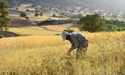 برداشت ۴۳۰ هکتار عدس از سطح مزارع دیم« چرداول»