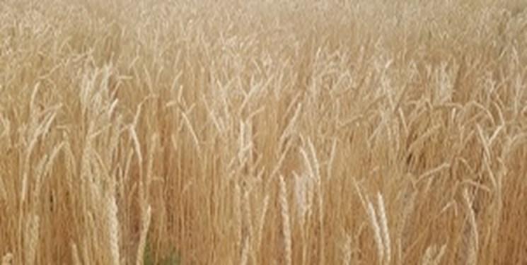 افزایش 2 دلاری قیمت گندم در بازارهای جهانی