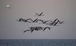 سواحل دریاچه ارومیه میزبان فلامینگوهای آفریقایی