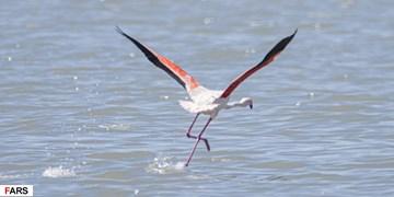میزبانی دریاچه ارومیه از 55 هزار فلامینگو