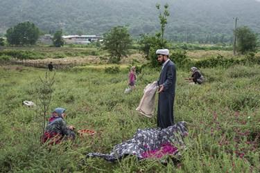 حاج ابراهیم به اهالی روستا در حین برداشت گلگاوزبان کمک و مشاوره میدهد.