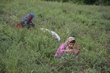 اهالی روستای زرینآباد در حال برداشت گیاه گلگاوزبان