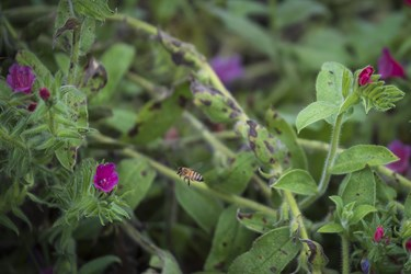 گیاه گلگاوزبان که در مزرعه یکی از اهالی روستای زرینآباد کشت شده است.