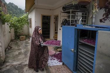 همسر حاج ابراهیم  گیاه برداشت شده را به دستگاه خشککن منتقل میکند. در زمانهایی که حجم گیاه برداشت شده زیاد باشد از دستگاههای خشککن هم استفاده میشود.