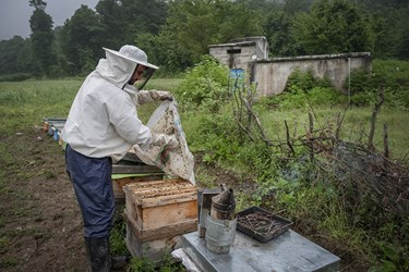 ابراهیم خرمدل هنگام رسیدگی به کندوهای عسل. او در کنار کشت گیاهان دارویی به تولید عسل نیز مشغول است.