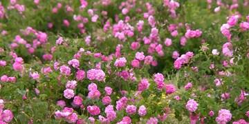 فارس من  آموزشهای لازم به متقاضیان کاشت گل محمدی ارائه میشود