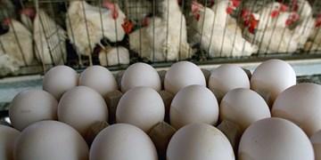 اشتغال ۳۷ نفر در واحد تولید مرغ تخمگذار سمنان