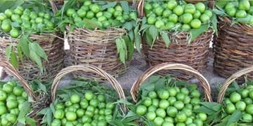 با تولید 20 هزار تن گوجه سبز / ۱۵ درصد سطح زیر کشت گوجه سبز کشور در آذربایجانشرقی است