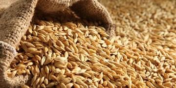 با تولید ۱۲.۶ تن / کشاورز میانه ای در تولید جو در کشور رکورد زد