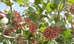 شهرستان مرند قطب تولید پسته در شمالغرب کشور/ برداشت 81 تن پسته از باغات پسته یامچی
