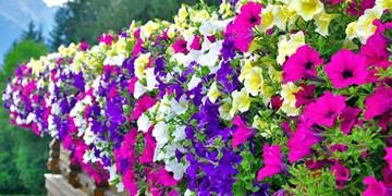 همدان، شهر «اطلسیها»/ گلهایی که شناسنامه شهر هستند